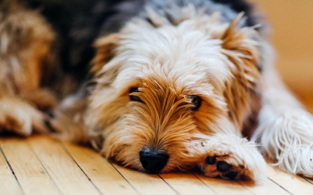 Skotträdsla – hur hjälper du din ljudrädda hund?