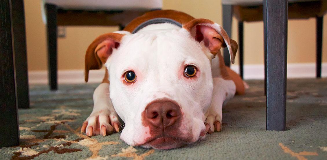 Stressad hund – vilka symptom?