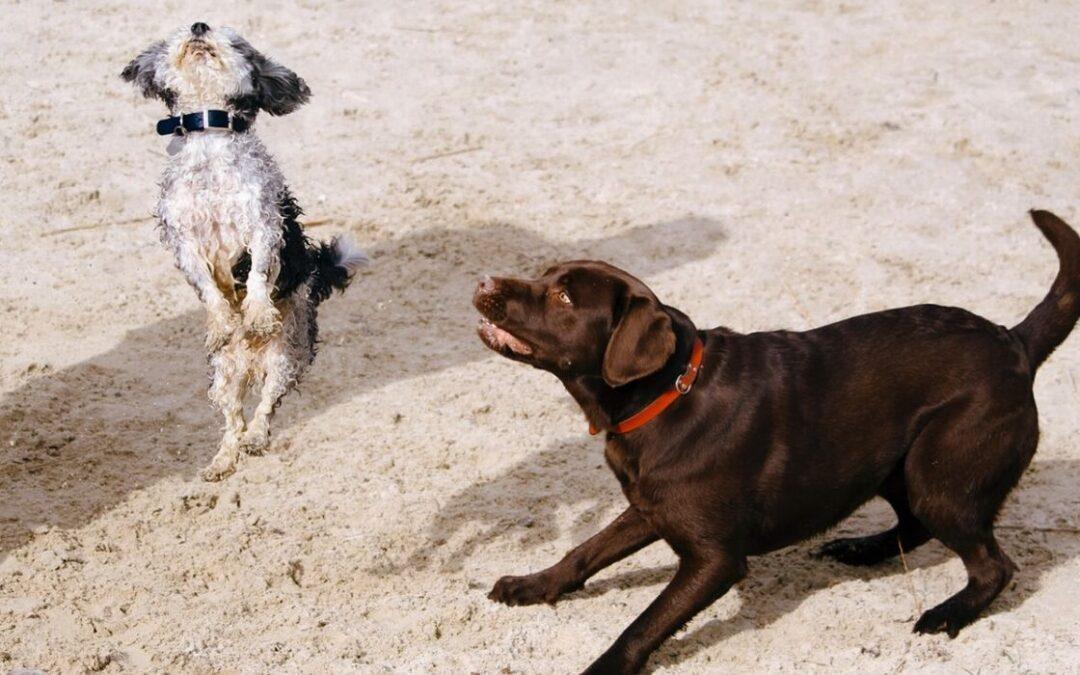 Hund skäller på andra hundar